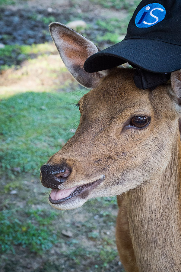 A deer wearing an IntelliSurvey hat
